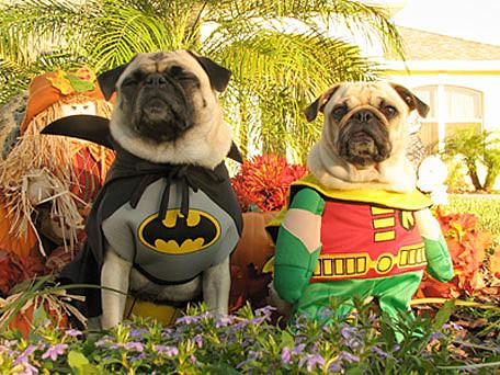 superman pug pup - Pugs Halloween Costumes