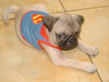 pugs in super halloween costumes because you know you want to see it - Pugs Halloween Costumes